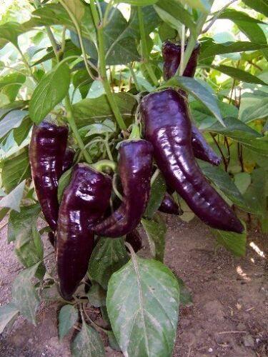 Pepper Seeds Purple Marconi Seeds Sweet Pepper Seeds 200 BULK SEEDS