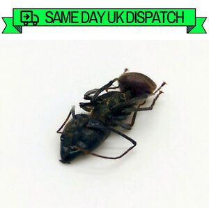 A1-Taxidermy-GIANT-Soldier-Ant-Insect-Collector-Malaysia-Camponotus-Gigas
