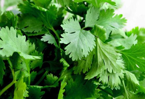 200 Samen Koriander Coriandrum sativum Gewürz Duftpflanze Heil