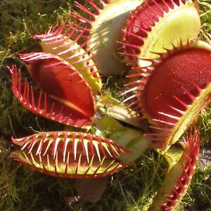 200PCS Dionaea muscipula graines Vénus gobe-mouches Plante ...