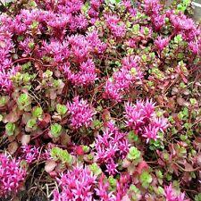 Sedum Purple Carpet Succulent Seeds (Spurium Coccineum) 100+Seeds