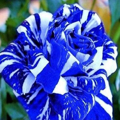 Rare Blue Dragon Rose Flower Seeds Garden Plant * Limited Deals