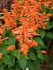 Salvia-Seeds-Salvia-Firecracker-Orange-50-Flower-Seeds
