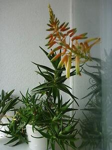 baum aloe arborescens jungpflanze heilaloe ebay. Black Bedroom Furniture Sets. Home Design Ideas