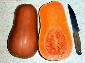 Pumpkin SUCRINE Du BERRY-Pumpkin Seeds-SWEET FRENCH HEIRLOOM-20 SEEDS.