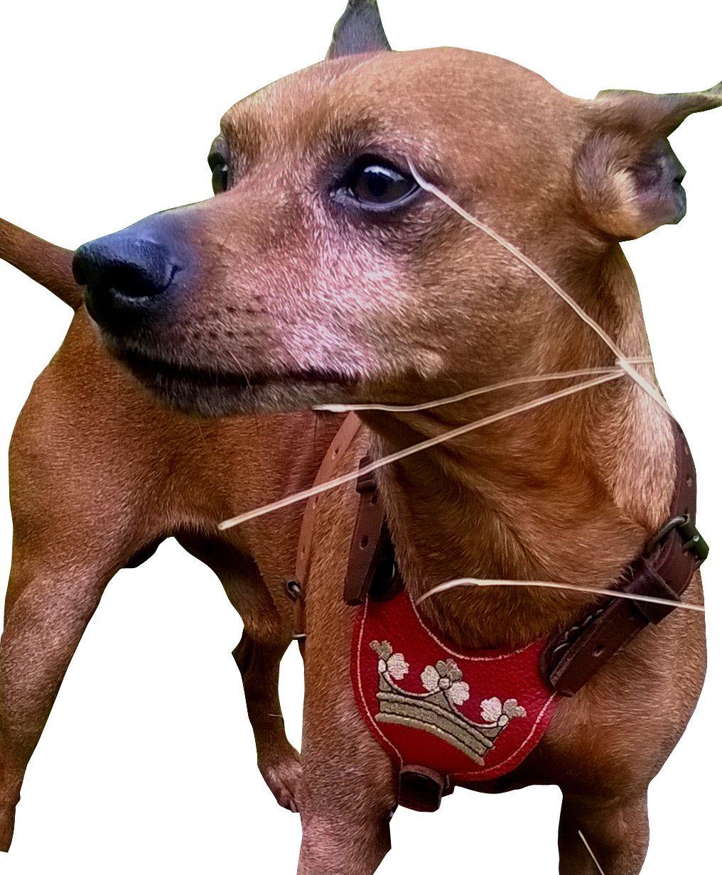 Royal cani pettorina pettorina pettorina pettorina per cani di piccola taglia, nano Pincher... in morbida pelle bovina RAR ccaeeb