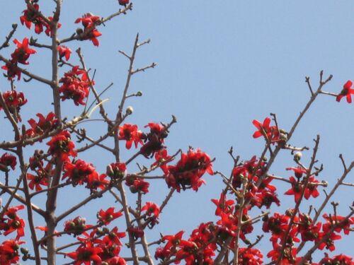 Bombax ceiba RED COTTON TREE Seeds!