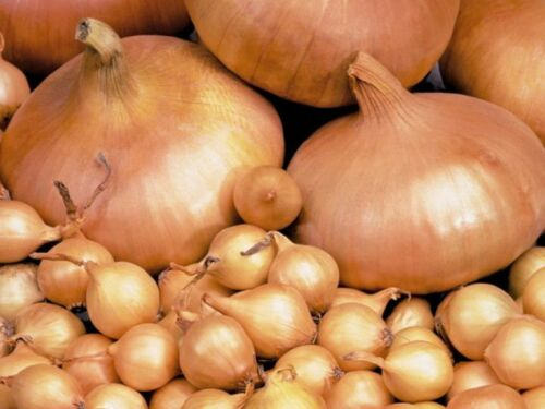 200PCs Onions Seeds Rare VIable Species Cepa Shallot Chives Leek Onion-Batuna