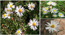 WILD WHITE DAISY ASTER FLOWER  WAY OVER 100 +  SEEDS 4 U TO PLANT