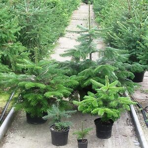 Real Nordman Fir Nordmann Fir Container Grown Living
