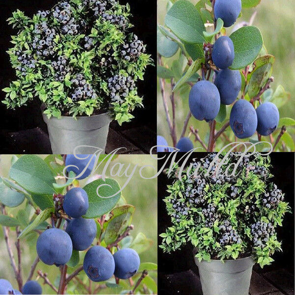 1Pack New Sweet Blueberry Seeds Shortbush Fruit Vegetable Seeds Northblue Q