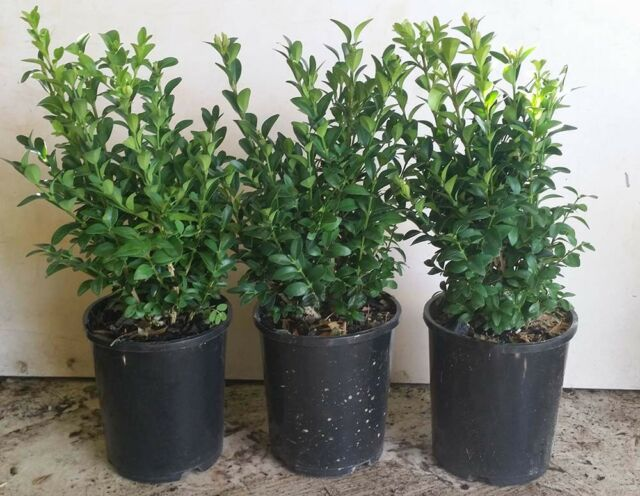 ENGLISH BOX HEDGE PLANTS IN 140mm POTS  PRE-ORDER