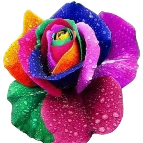 100 pcs Beautiful Black//Colorful Rose Seeds Limited Sales Rose Flower Seed