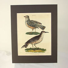 "Hand colored bird engraving ""The flapping Lark Sirli or African Lark, dated 1807"