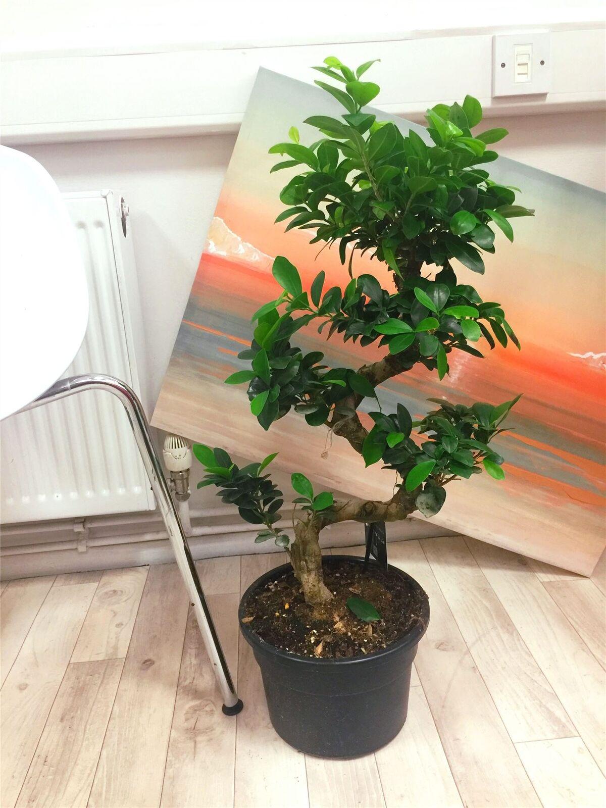 1 grande FICUS benjamina piangere Fig Tree S forma BONSAI Sempreverde Indoor Plant