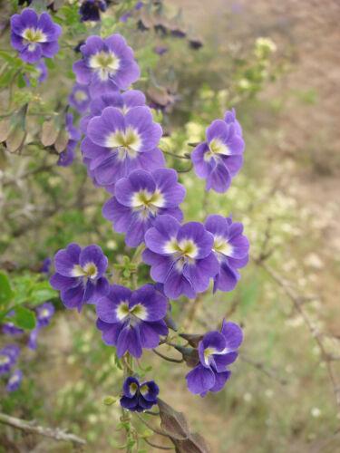 RARE 3 graines de CAPUCINE BLEUE Tropaeolum Azureum H158 BLUE NASTURTIUM SEEDS