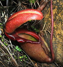 10 semi di NEPENTHES RAJAH - PIANTA CARNIVORA