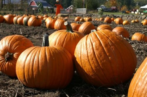 VEGETABLE  PUMPKIN HOWDEN  8 SEEDS  PERFECT FOR HALLOWEEN **FREE UK P/&P**