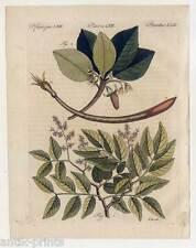 Arzneipflanzen-Balsambaum-Lichtbaum-Bäume - Bertuch - Kupferstich 1810