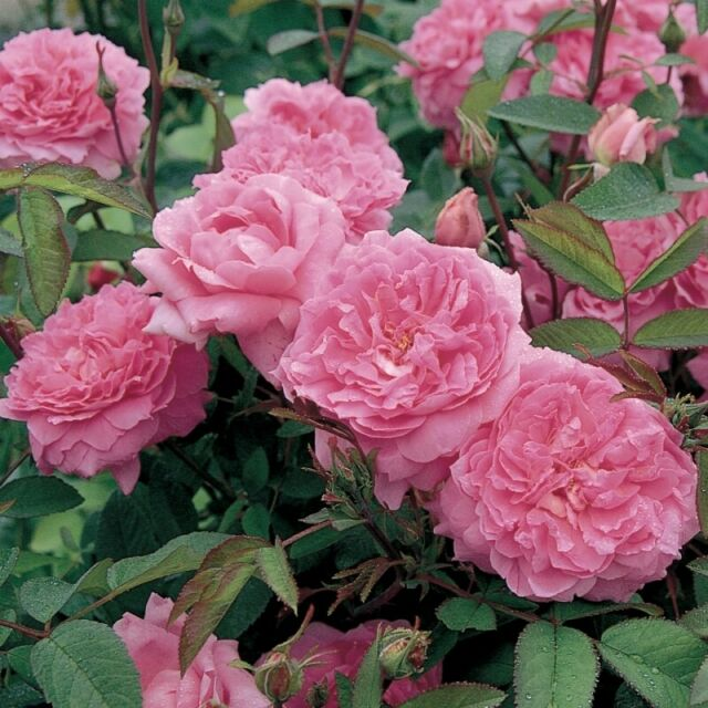 Englische Rose The Mayflower ®  Austilly ® Duftrose von David  Austin 2001