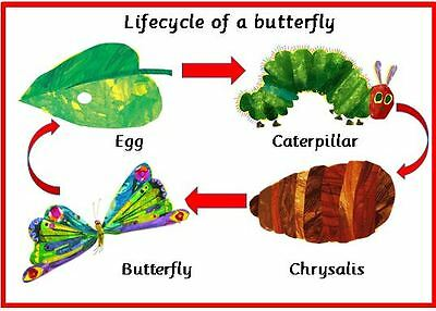 Lifecycle of a butterfly - Hungry caterpillar- A4 laminated poster ...