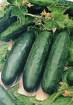 ORGANIC Cucumber Marketmore - Indoor/outdoor variety  20 seeds - Vegetable