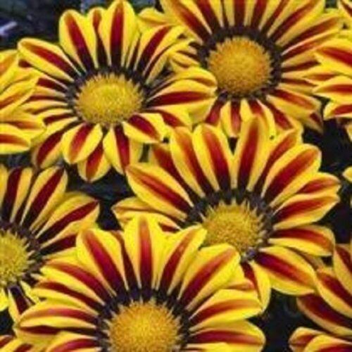 Big Kiss Yellow Flame Gazania 15 Seeds