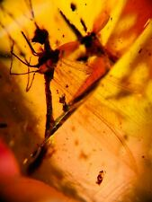 Neuroptera Myrmeleontidae fly adult ant lion Burmite Myanmar Amber insect fossil
