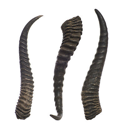 "10.5/"" REAL Male Springbok horns Taxidermy from Namibia South Africa"