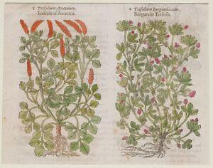 JOHN-GERARD-BOTANICA-MATTHIOLI-1597-TRIFOLIUM-AMERICUM-TRIFOGLIO-TREFOILE
