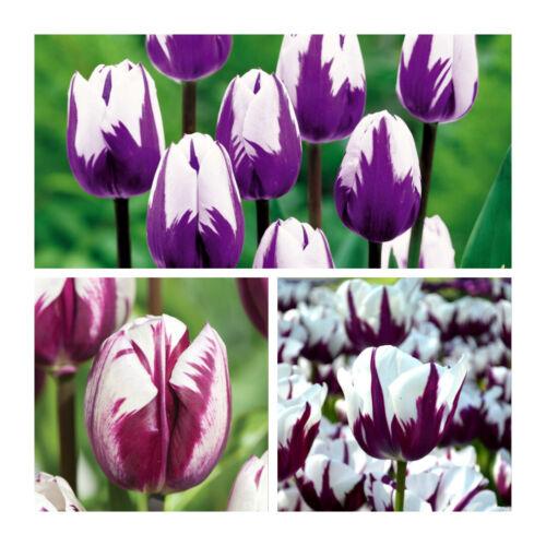raro bellissimo fiori primavera Mirtillo Ripple TULIPANO x 100 Lampadine