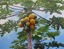 10 PK HAWAIIAN PAPAYA FRUIT SEEDS ~ GROW HAWAII