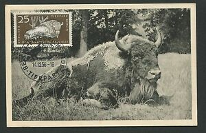 Maxi Cards Capable Ddr Mk 1956 Tierpark Berlin Wisent Bison Maximumkarte Maximum Card Mc Cm D4917 Specialty Philately