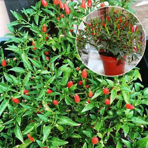 Thai Sun Hot Pepper Capsicum Ornamental Annuum Chili Seeds Bonsai