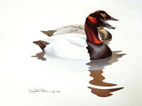 Gallery Release Print Pair Canvasback Ducks By Artist Richard Sloan
