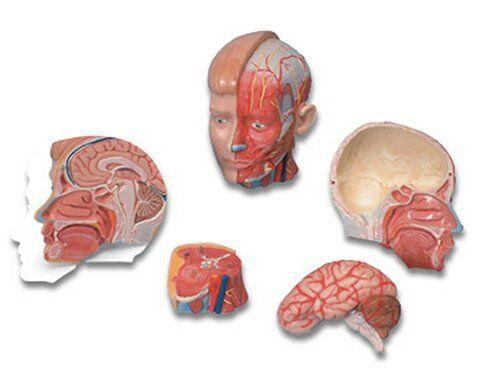 3b Scientific Anatomical Models MAC07 Medart Head With Neck Model | eBay