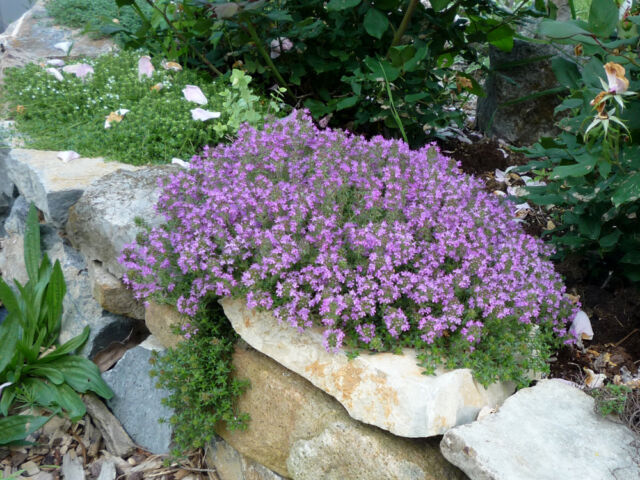 125+ Seeds Creeping Thyme Groundcover -  Perennial - Landscape Flower Herb