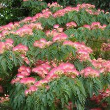 10 Mimosa / Persian Silk Tree Albizia Julibrissin Flower Seeds