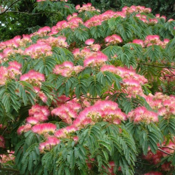 10 mimosa persian silk tree albizia julibrissin flower seeds ebay mightylinksfo