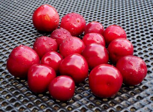 Blutpflaume Prunus cerasifera /'Nigra/' 60-100 cm im Container