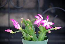 "Live Rare Pink Christmas Cactus Plant - Zygocactus - 4"" Pot Mature Indoor House"