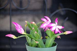 Image Is Loading Live Rare Pink Christmas Cactus Plant Zygocactus 4