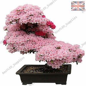 Kirschblüten bonsai