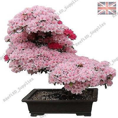 Rare Cherry Blossom Bonsai Japanese Sakura Tree 10 Viable Seeds Uk Seller Ebay