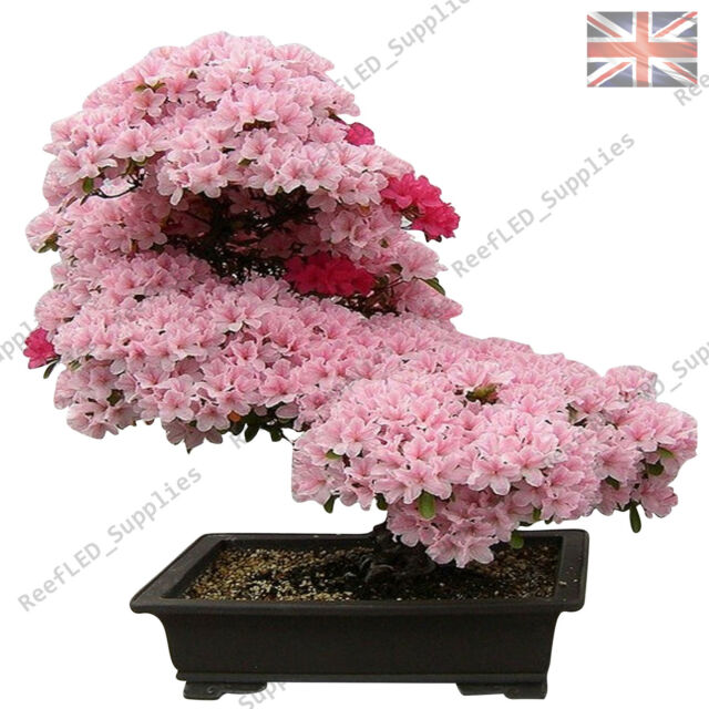 Japanese Sakura Prunus Sargentii Flowering Cherry Bonsai Tree 5 Seeds Rare For Sale Online Ebay
