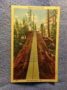 Vintage-Postcard-Yosemite-National-Park-The-Massachusetts-Tree