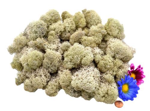 Muwse islandmoos cabezas V 4-12cm 100g crema beige mano limpiado musgo decorativas floristería
