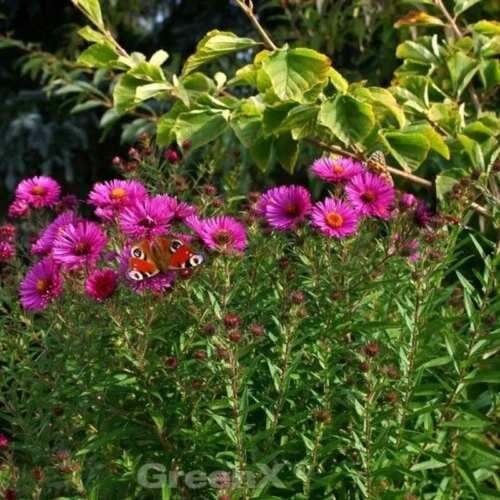 Aster novae angliae Rauhblattaster Crimson Brocade