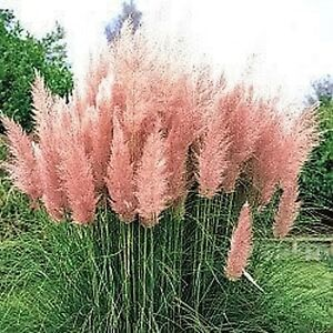 200 Pink Pampas Grass Cortaderia Selloana Rosea Ornamental Flower