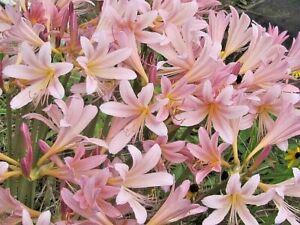 Lycoris squamigera, Amaryllis belladona, Naked Ladies
